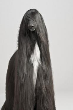 Afghan hound...,more WOW, than yikes: Afghan Hound, Afghans, Animals, Dogs, Hairs, Long Hair, Pet, Better Hair