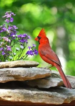"Aimee really enjoys watching the   Cardinals eat from the birdfeeder- it is her favorite ""hobby"": Redbird, Birds, Animal, Cardinals"