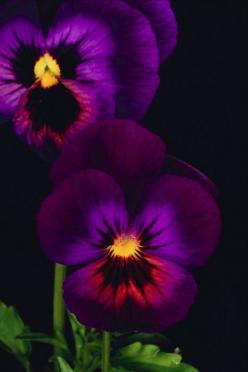 An exquisite photograph of Pansies.: Color, Pansy, Purple Passion, Beautiful Flowers, Dark Purple, Purple Pansies, Garden, Favorite Flower