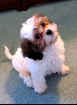 Another Cavachon from Gleneden Farms, Berryville, VA Adorable!!! Good for people with allergies.: Berryville Va, Gleneden Farms, Hypoallergenic Dog, Adorable Cavachon, Dogs For People With Allergies, Farms Berryville, Cavachon Dogs, Va Adorable, Cavachon