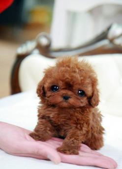 Baby Dream Teacup Poodle...  Oh my goodness this thing is so cute not sure it would be off my lap long enough to know how to walk!: Puppies, Animals, Dogs, Pet, Puppys, Adorable, Teacup Poodle, Baby