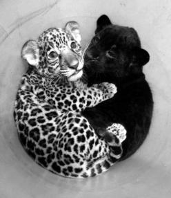 Baby leopard and panther: Babies, Big Cats, Baby Jaguar, So Cute, Pet, Baby Panther, Baby Animals, Baby Leopard