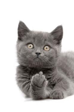 Bad kitty... Hahaha this is exactly how I feel right now....: Grey Cat, Kitty Cats, Naughty Cat, Middle Finger, Bad Kitty, Bad Cats, Cats And Dogs Funny Hilarious, Animal