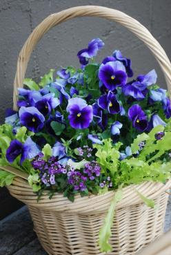 beautiful basket of purple pansies.... I love pansies , one of my favorite flowers to plant since they still blown in the winter.. so pretty...: Purple, Perfect Love, Beautiful Flowers, Pansies, Baskets, Garden, Favorite Flower