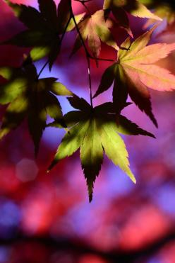 ✯ Beautiful Colors: Photos, Colour, Fall Leaves, Jewel Tone, Beautiful Colors, Autumn Leaves, Nature S, Autumn Color