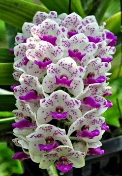 Beautiful Orchid tower: purple & white blooms on stalks. RESEARCH #DdO:) MOST #POPULAR RE-PINS -  https://www.pinterest.com/DianaDeeOsborne/flowers-beyond-expected/ - FLOWERS BEYOND EXPECTED. Genus ORCHID is OLD, widespread, prolific, DIVERSE colors,
