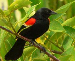 birds of wisconsin | And I heard a wood pecker. I imagined he would have looked like this:: Red Wing Black Bird Tattoo, Beautiful Birds Blackbirds, Red Winged Black Bird, Red Wings, Red Winged Blackbirds, Redwing Blackbird, Animal