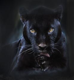 Black Panther. The black panther is all black. They are not evil either. Superstition is a state of mind. We can always change our minds if we choose to. The Incensewoman: Black Panther, Animals, Big Cats, Beautiful, Creatures, Wild Cats, Photo, Panthers,