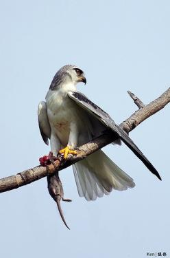 Black Shouldered Kite // Élanion d'Australie -: 12 Birdsofprey, Birds Of Prey, Black Shoulder, Explored Black, Shoulder Kite, Birds Hawks, Beautiful Birds 3, Birds Bugs