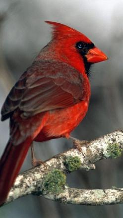 Cardinal_ two or three pairs come to our feeders. Sometimes, they tolerate each other and eat in peace. 8-): Animals, Redbird, Cardinal Birds, Beautiful Birds, Cardinals