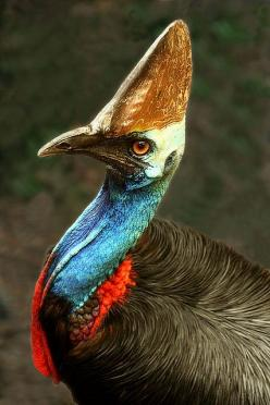 Cassowary. Flightless Bird.  Southern Cassowary (Casuarius casuarius). Dangerous bird when provoked  - has attacked and killed people. Tropical Rainforest, North  Queensland, Australia. Rare and endangered. Protected species.: Cassowary Flightless, Beauti