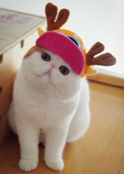 #cat: Hats, Animals, Cute Cats, Funny Cat, Pet, Exotic Shorthair, Kitty