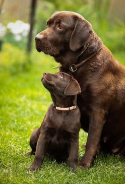 Chocolate Labradors, another favourite breed of mine. Luckily, I've we've got a family pet that's a chocolate labrador. Funny enough.. he looks like the bigger dog in this picture: Labrador, Animals, Dogs, Chocolate Labs, Pet, Puppy, Chocolate