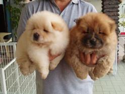 Chow Chow Puppies: Animals, Dogs, Fluffy, Pet, Puppys, Adorable, Chow Puppies, Chowchow