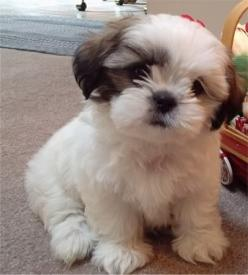 Dogs That Don't Shed or Smell | -going, easy-to-train dogs who don't shed & don't yip, great lap dogs ...: Animals, Dogs, Shihtzus, So Cute, Pets, Puppys, Puppy, Shih Tzu S, Shih Tzus