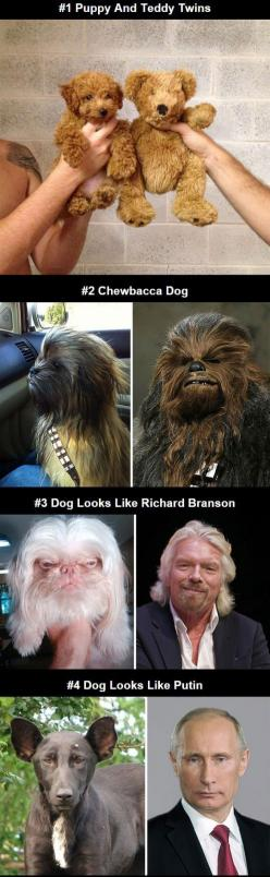 Dogs That Look Like Other Things: Funny Animals, Funny Dogs, Chewbacca Funny, Funny Pictures, Dog Look Alikes, Animal Look Alikes, Dogs That Look Like Bears, Chewbacca Doggie, Look Alikes Funny