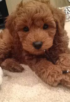 Doodles of Autumn Hills, Mini English Goldendoodles, Mini Petite Goldnedoodles: Petite Goldendoodle, Puppies Goldendoodles, Baby Goldendoodles, English Goldendoodles, Future Baby, Goldendoodles Mini, Dogs Small Sweet Smart