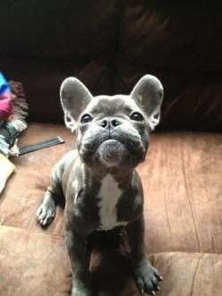 fabulous pictures: great images: French bulldog: Blue Frenchie, Blue French Bull Dog, French Bulldogs, Baby, Blue French Bulldog, Animal