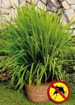 For the Deck- Mosquito grass (a.k.a. Lemon Grass) repels mosquitoes   the strong citrus odor drives mosquitoes away--very functional patio plant, plus, the leaves make a great healthy tea, and the cut up stems are great in Thai dishes, like Tom Lum (cocon