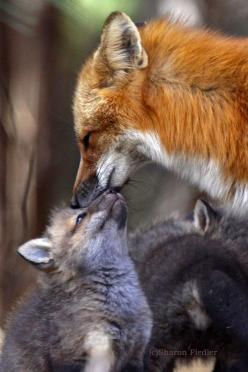 fox kisses.: Mothers Love, Animals, Fox, Foxes, Red Fox