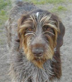 German Wirehaired Pointer! SOOO CUTE! : Dogs Gwp S, Adorable Dogs, Bird Dogs, Favorite Dogs, German Wirehaired Pointer, Animals Dogs Gsp, Beautiful Dogs, Dog Breeds