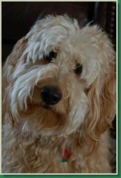 Google Image Result for http://redcedarfarmsgoldendoodles.com/files/2011/08/redcedarfarms-goldendoodles_logo.jpg: Adorable Animals, Labradoodle, Dogs Goldendoodles, Darling Dogs, Dogs Life, Doggie Style, Beautiful Dogs, Farms Goldendoodles, Golden Doodles