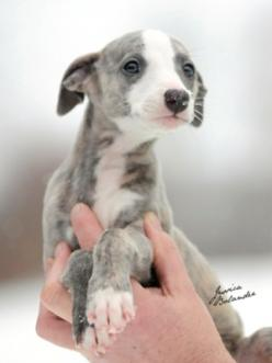greyhound puppy, and they only get better with age! Best couch potatoes ever!!!: Greyhound Puppies, Whippet Puppies, Sighthound, Baby, Animal, Italian Greyhounds