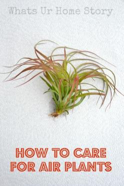 How to care for Air Plants,  grow air plants www.whatsurhomestory.com: Grow Air, House Plants, Airplants, Green Thumb, Air Plants Care, Indoor Plants