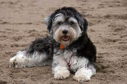Hypoallergenic Dogs List - The Best Dog Breeds For People With Allergies Or Asthma: Pets Animals Cuddleboos, Havanesse Dog, Anipals Dogs, Happy Havanese, Google Search, Adult Havanese Dogs, Best Family Pets, Dog Breeds
