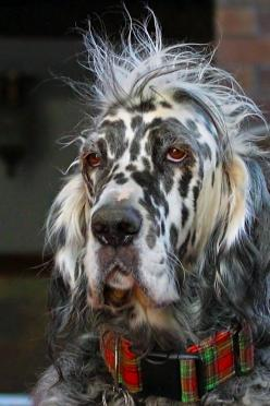 I am trying to come up with the breeds represented in this dog. Definitely see a harlequin Great Dane in the face. Around the shoulders, maybe Irish Wolfhound, but I can't see enough to be sure and the  hair on top of the head and ears looks too long