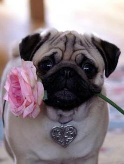 just look how cute they are will someone just buy me a pug i realllllyyyyy freaking want one !: Rose, Romantic Pug, Animals, Sweet, Dogs, Pug Life, Pet, Pugs, Valentine