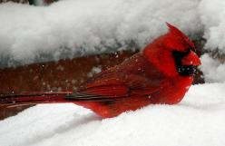 Kentucky State Bird.: Birds Butterflies Oceanography, Cardinal Birds, Beautiful Birds, Photo, Beautiful Cardinal, Red Birds