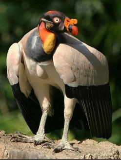 King Vulture,  found in Central & South America stretching from southern Mexico to northern Argentina: Animals, Poultry, South America, Vulture Sarcoramphus, Beautiful Birds, Photo