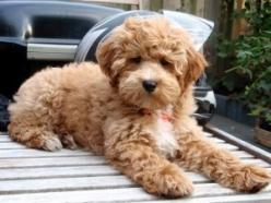 labradoodle: I Want, Labradoodle Puppies, Animals, Weight Loss, Cutest Puppy Ever, Food Network/Trisha, Dogs Doodles, Cutest Puppies, Cute Dogs