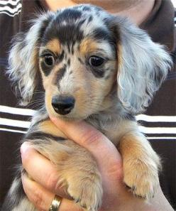 Like I need to add to the three dachsunds I already have but I WANT a long-haired dapple dachsund!: Long Haired Dachshund, Dachshund Puppies, Pet, Dapple Dachshund, Doxie, Haired Dapple, Dog, Animal
