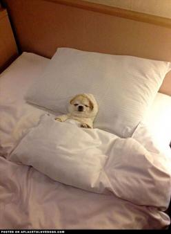 Little Chihuahua ready for bed - a place to love dogs (Sorry cant help but laugh a little...LOL!!): Animals, Dogs, 3/4 Beds, Pet, Funny, Puppy, Adorable, Things, Chihuahua