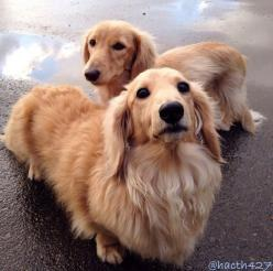 Long haired weenies :)...ENGLISH CREAMS...HOW BEAUTIFUL!!: Long Haired Doxie, Blond Daschund, Long Haired Weiner Dogs, Long Haired Cream Dachshund, English Cream, Long Haired Dachshund Puppies, Dachshund S, Wiener Dogs, Animal