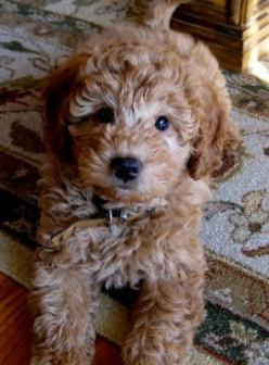 Look at that sweet little face.  Goldendoodles...  totally adorable!: Face Goldendoodles, Mini Goldendoodle, Poodle, Sweet, Goldendoodles Totally, Goldendoodle Puppies, Doodle Cuteness, Golden Doodles