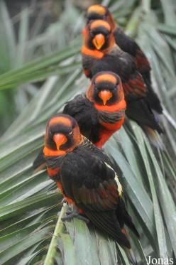 Lori sombre (Pseudeos fuscata): Dusky Lories, Dusky Lory, Birds Dusky, Birds Parrots, 599 902, Beautiful Birds, Animals Birds