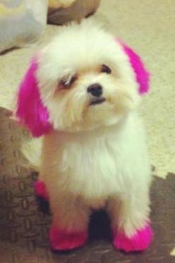 maltese teacup: Amazing, Animals, Dogs, Weight Loss, Maltese, Pet, Funny, Dog Hair Dye, Puppy