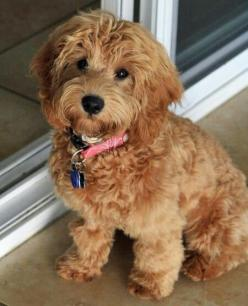 Miniature labradoodle....I could totally have one of these...make her a Chocolate!!!!: Labradoodle Puppies, Dogs, Mini Labradoodle, Google Search, Puppy, Goldendoodle, Animal, Labradoodle Google