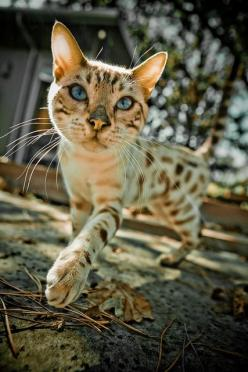 moby by Xanboozled, via Flickr: Cats Meow, Bengal Cats, Critters, Dogs Cats, Cats 3 0, Cats Planet, Kitties, Cats Kittens