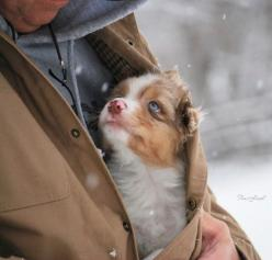 once i go to college im gonna get a appartment that allows animals, and im gonna get a dog just like this!: Animals, Dogs, Pets, Puppys, Adorable, Australian Shepherd, Photo, Friend, Aussie