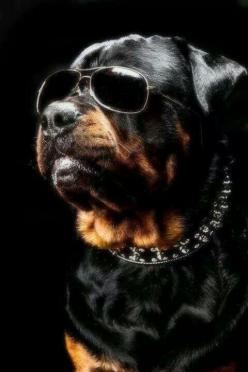 One cool big shot! #dogs #pets #Rottweilers Facebook.com/sodoggonefunny: Photos, Rottweilers Pets, Animals, Dogs, Style, Pets Rottweilers, Rotties Rule, Rottie S
