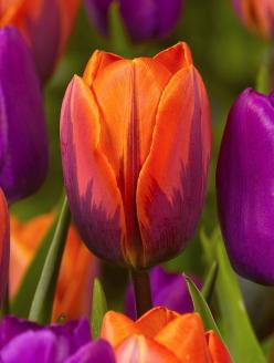 Orange and Hot PInk with a touch of Green - Eye-popping color! I'd love a shawl or shrug in these colors! Tulip Princess Irene: Beautiful Tulip, Flowers Tulip, Irene Tulip, Purple Tulip, Color, Orange Tulip, Tulip Flower, Garden, Pink Tulip