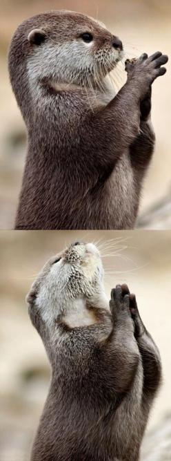 "Otter Prayer!  1 Thessalonians 5:16-18 ""Rejoice always; pray without ceasing. in everything give thanks; for this is God's will for you in Christ Jesus."": Otter Prayer, Dear God, Animals, Dear Lord, Fish, Otters, Funny, Praying Otter"