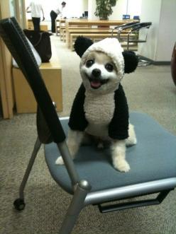 Panda dog. Next time I am having a bad day, I will just look at this picture.pretty cute for a small dog: Animals, Dogs, Panda Dog, Pet, Funny, Costume, Puppy, Pandas