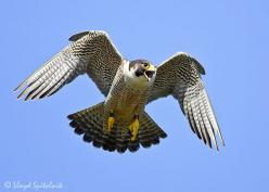 Peregrine falcon. These are crazy birds. The female we worked with ended up footing her handler in the face. Ouch.: Peregrine Falcon Tattoo, Birds Of Prey, Bird Tattoo, Artistic Endeavors, Neat Birds, 240 Mph, Amazing Birds, Crazy Birds, Art Projects
