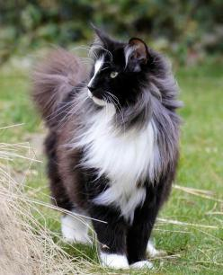 .  ☀ ☀ PIN to WIN ☀ ☀ CLICK HERE for details==> https://sites.google.com/site/trophywifeaprons: Kitty Cats, Animals, Beautiful Cats, Norwegian Forest Cat, Pet, Gorgeous Cat, Feline, Dog
