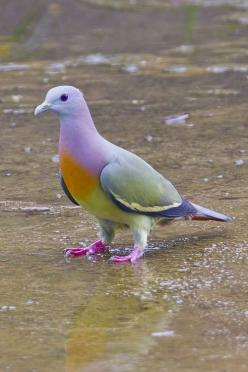 Pink-necked Green Pigeon: Pink Necked, Animals, Color, Necked Green, Green Pigeon, Pinknecked, Beautiful Birds